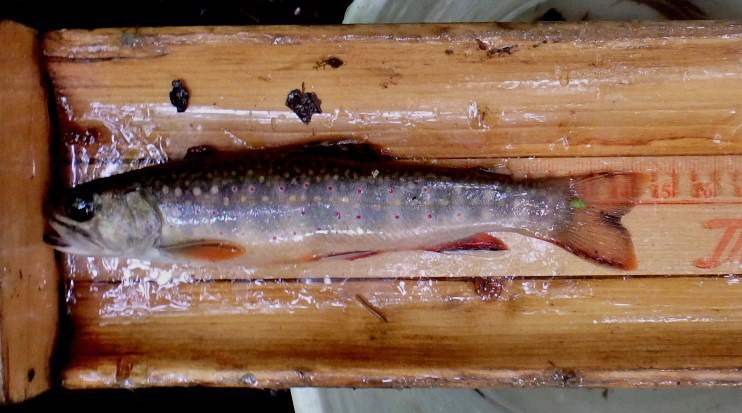 A brook trout being measured
